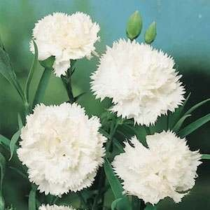 30+ Pure White Carnation Flower Seeds /Perennial