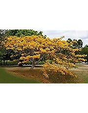 ASTONISH SEEDS: Amarillo Royal Ponciana Flamboyant Delonix regia 20 semillas