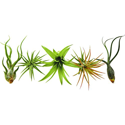 Bliss Gardens 5 Pack Assorted Tillandsia Air Plants