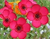 David's Garden Seeds Flower Flax Scarlet DGS1110 (Pink) 500 Open Pollinated Seeds