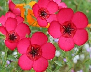 Flax Flower - David's Garden Seeds Flower Flax Scarlet EW1110 (Pink) 500 Non-GMO, Open Pollinated Seeds