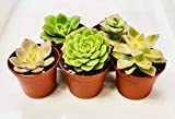 Succulent Garden Plants (Collection of 5) Fully Rooted in Planter Pots with Soil | Real Live Unique Assorted Succulents Indoor Outdoor Cactus Flower Decor