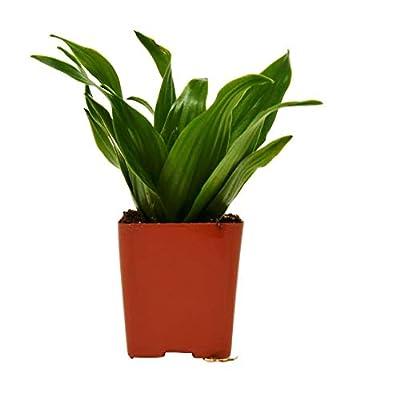 "Cheap Fresh Dracaena 'Janet Craig' - 2.25"" Pot - Live House Plant Get 1 Easy Grow #HPS01YN : Garden & Outdoor"