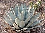 Agave montana Seeds Fresh 30 Seeds