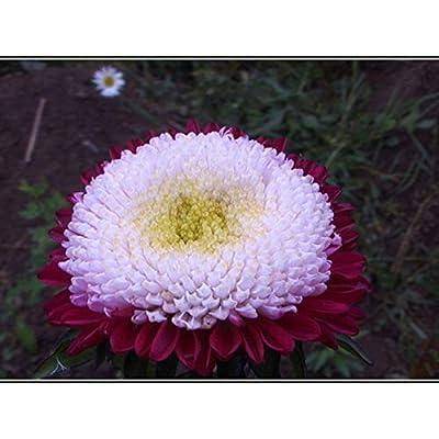 Seeds4planting - Seeds Aster Pompon Winter Cherry - Organic : Garden & Outdoor
