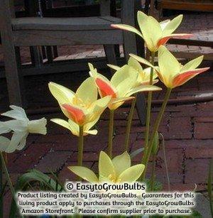 Yellow Species Tulips Clusiana Cynthia - 10 robust bulbs - 6+ cm Miniature Tulip