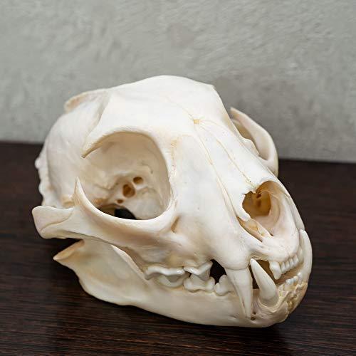 Eurasian Lynx Taxidermy Skull - NOT Bobcat Cleaned Skull, Jaws, Bones, Skeleton, Teeth for Sale - Real, Decor, LIFESIZE, Genuine - ST4972