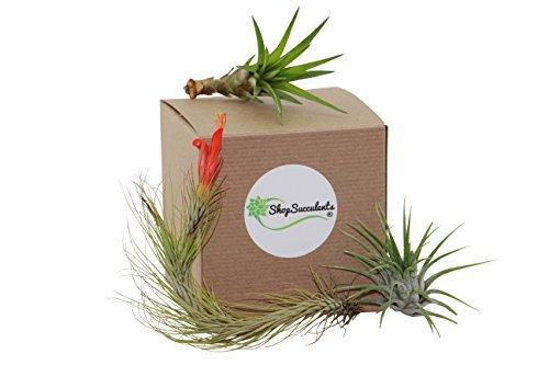Shop Succulents Unique Air Plant (Collection of 3) (Unique Deliveries)
