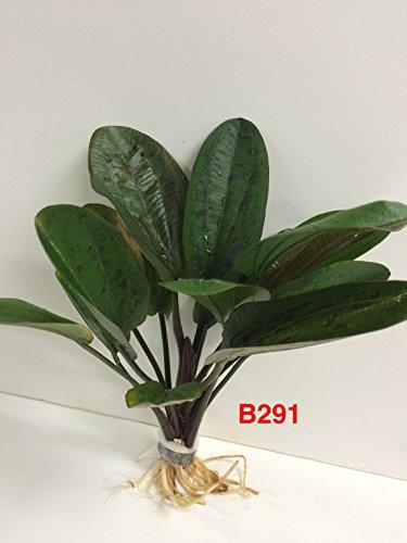 Echinodorus hadi red pearl - Bundle Plant B291 - BUY 2 GET 1 FREE Live Aquatic Plant ()