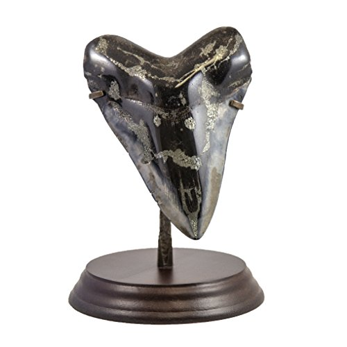 Beverly Oaks Huge Museum Quality Real Megalodon Tooth Fossil - Giant Shark Tooth - 263g (Collector Megalodon Shark Tooth)