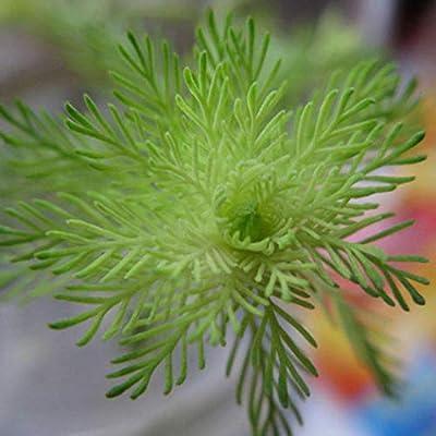 Vpicuo 100pcs/ Bag Mixed Water Grass Seeds Aquarium Home Fish Tank Plant Decor Aquatic Plants : Garden & Outdoor