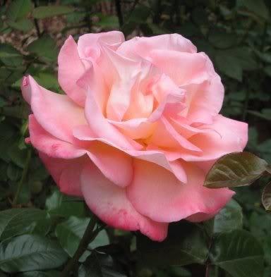 5 PINK ROSE Rosa Bush Shrub Perennial Flower Seeds *Comb S/H - Admiration Bouquet