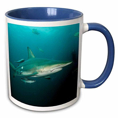 3dRose Danita Delimont - Sharks - Oceanic Black-tip shark, Umkomaas, KwaZulu-Natal South Africa - 15oz Two-Tone Blue Mug (mug_225117_11)