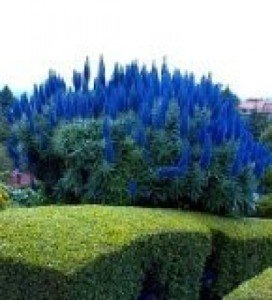 10 Samen Stolz von Madeira, Madeira-Natternkopf (Echium candicans) Blauer Natternkopf Samen (Echium Blue Pride of Madeira)