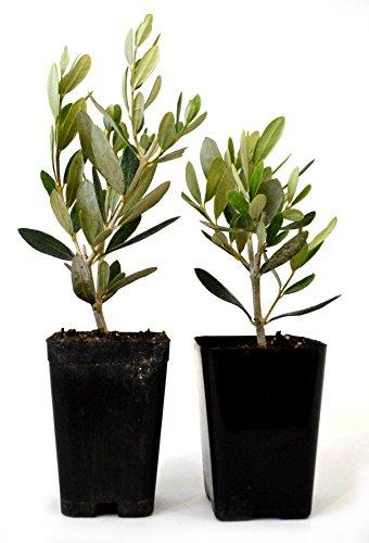Topiary Pomegranates - 9GreenBox - Olive Tree - Tree of Peace - Olea europaea - 2 Pack