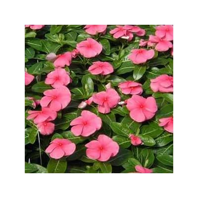 40+ Delicate Pink Periwinkle / Frangrant Long-lasting Annual / Deer Resistant / Ground Cover : Flowering Plants : Garden & Outdoor