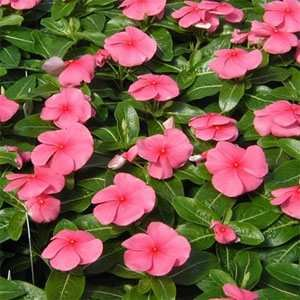 - 40+ Delicate Pink Periwinkle / Frangrant Long-lasting Annual / Deer Resistant / Ground Cover