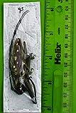 Victorian Long-Horn Beetle Batocera Victoriana
