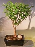 Bonsai Boy's Flowering Chinese Nanking Cherry Bonsai Tree prunus tomentosa