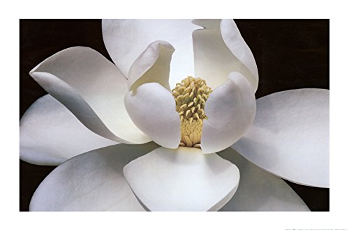 White Magnolia Close-Up Art Poster Print Photography