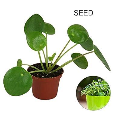 LISRUI 50Pcs Pilea Peperomioides Money Plant Seeds, Pancake Shape Tree Seeds, Home Garden Decor Seeds for Planting : Garden & Outdoor