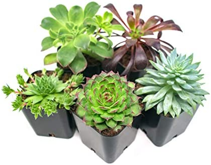 succulent-plants-5-pack-fully-rooted
