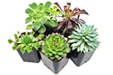 Succulent Plants (5 Pack), Fully Rooted in Planter Pots with Soil -  Real Live Potted Succulents / Unique Indoor Cactus Decor by Plants for Pets: more info