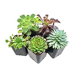 Succulent Plants (5 Pack), Fully Rooted in Planter Pots with Soil -  Real Live Potted Succulents / Unique Indoor Cactus Decor by Plants for Pets 2 HAND SELECTED: Every pack of succulents we send is hand-picked. You will receive a unique collection of species that are FULLY ROOTED IN 2 INCH POTS, which will be similar to the product photos (see photo 2 for scale). Note that we rotate our nursery stock often, so the exact species we send changes every week. THE EASIEST HOUSE PLANTS: More appealing than artificial plastic or fake faux plants, and care is a cinch. If you think you can't keep houseplants alive, you're wrong; our succulents don't require fertilizer and can be planted in a decorative pot of your choice within seconds. DIY HOME DECOR: The possibilities are only limited by your imagination; display them in a plant holder, a wall mount, a geometric glass vase, or even in a live wreath. Because of their amazingly low care requirements, they can even make the perfect desk centerpiece for your office.