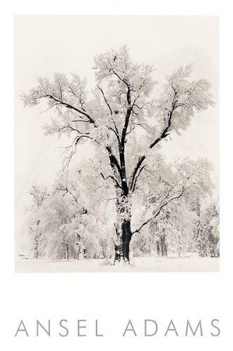 Ansel Adams Poster- Oak Tree - 541133
