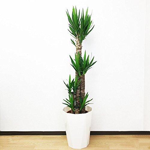 ユッカ エレファンティペス 10号 大鉢 観葉植物 インテリア 大型 オシャレ 大きい 尺鉢 お祝い 自宅用 プレゼント B01GK4LPVC