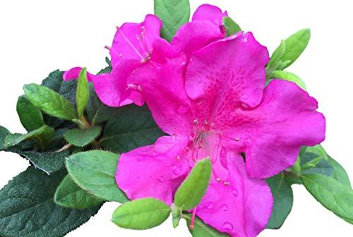 (Autumn Royalty Purple Encore Azalea - Live Plant - Full Gallon Pot)