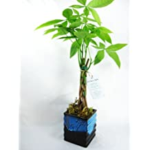 "9GreenBox - 5 Money Tree Plants Braided Into 1 Tree - 4"" Ceramic Pot"