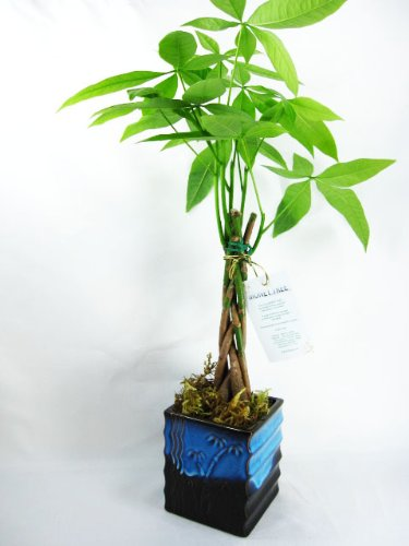 9GreenBox - 5 Money Tree Plants Braided Into 1 Tree - 4'' Ceramic Pot by 9GreenBox.com