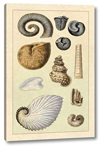 (Shells: Ammonacea by G.B. Sowerby - 22