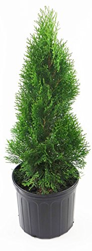Emerald Green Arborvitae, green leafed plant in 3 Gallon ...