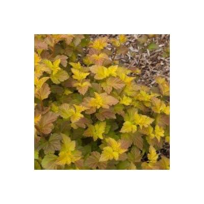Amber Jubilee Ninebark> Physocarpus opulifolius 'Jefam'> Landscape Ready 2 Gallon Container : Garden & Outdoor