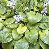 HOSTA AUGUST MOON - 20 SEEDS - yellow-green to gold