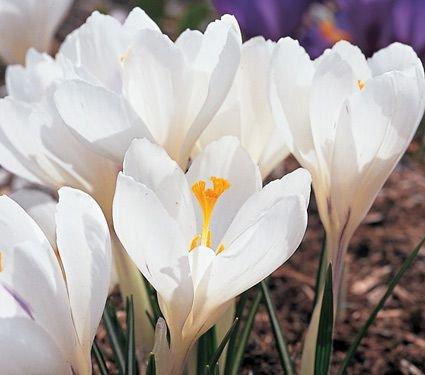 15 Bulb Plant Crocus Jeanne D'Arc - Jeanne Darc Roses