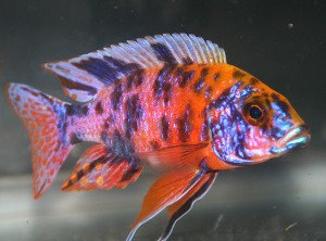 Golden Glove Fishery OB Peacock Cichlid - African Cichlid -