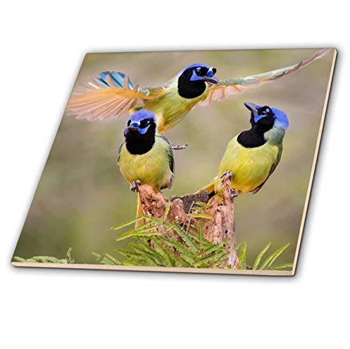 3dRose Danita Delimont - Birds - Green Jay, Cyanocorax Yncas, adult fighting for a perch - 12 Inch Ceramic Tile (ct_315037_4)