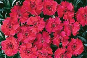 Star Dianthus ((1 Gallon) Dianthus 'Fire Star' (Groundcover) Blue-gray Foliage, with Red Flowers, Repeat Bloomer)