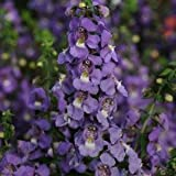 Outsidepride Angelonia Serena Blue - 15 Seeds