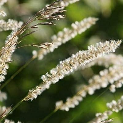 Cutdek Silky Spike Melic Ornamental Grass Seeds (Melica Ciliata) 120+Seeds : Garden & Outdoor