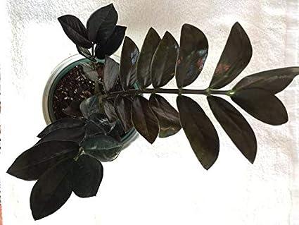 Raven Black ZZ Plant in a 14cm Pot *New Variety* Zamioculcas zamiifolia