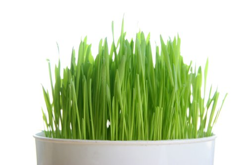 - Todd's Seeds, Wheatgrass Seeds, One Pound, Cat Grass Seeds, Hard Red Wheat