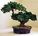 Bonsai Boy's Monterey - Double Trunk-Preserved Bonsai Tree Preserved - Not a living tree
