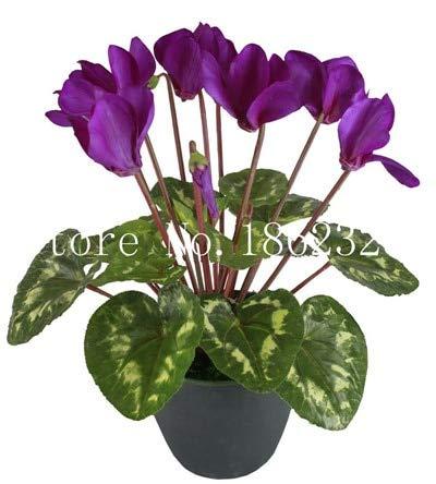 100 pcs Cyclamen Flower Bonsai, Indoor Potted Plants, Perennial Flowering Plants Cyclamen Flower Plant for Balcony Garden bonsai9