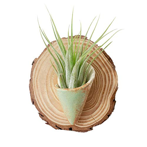 Carter & Rose Ceramic and Wood Wall Planter Round (Air Plant Included, Pistachio)
