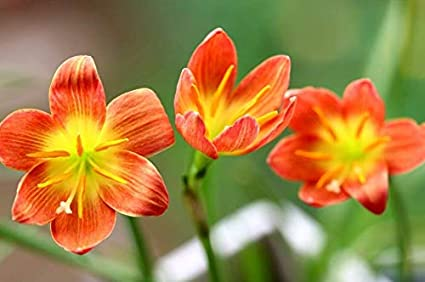 Amazon Com Orange Lycoris Lily Rain Lily Bulbs 4 Bulbs Perennial