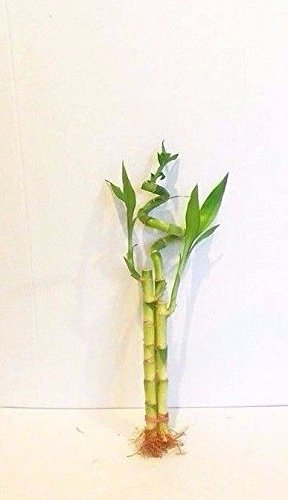 3 Stalks of Lucky Bamboo Live Real Plant From Jmbamboo by JM BAMBOO